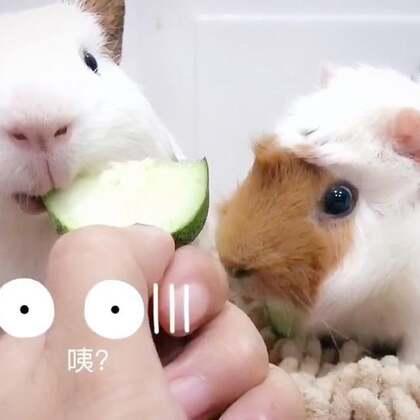#宠物##荷兰猪# 鸣谢小伙伴从家里摘了千里迢迢给灰毛扛来的黄瓜🥒😘