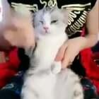 一只会跳舞的猫,这跳的也太好了吧!😂😂 喵内心:魂淡,朕要干掉你!可是又恨又困又恨又困又困又困....太可爱啦!❤️#全球搞笑精选##喵星人#