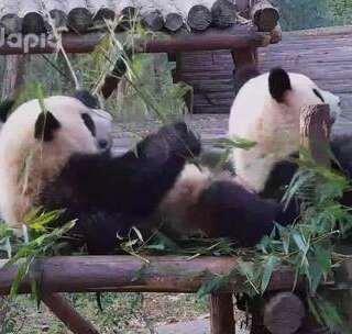 #也就才看二十遍#吃竹子也这么费劲?姐姐不好当都是有原因的!(戳链接看看科小还有那些故事:http://m.pandapia.com/panda/view.html?id=MTA=)