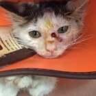 小猫的脸和腿可能被大猫咬了,天热开始发炎溃烂,形成空洞,腿上一大块皮没了,现在住院治疗,脸部好多了,腿部准备缝合手术,🙏希望小家伙快点好起来,去新家享福。#宠物救援##关爱流浪动物##热门##萌宠#V信:956326118。