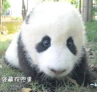 #萌团子陪你过周末# 来自Camera boys 的宠爱~ 不要偷熊猫哦!#大话熊猫#