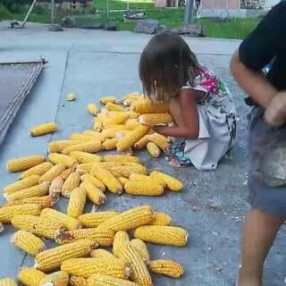 姐妹俩帮邻居收玉米,