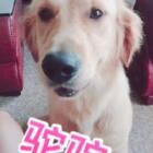 今天来见一个狗狗,金毛犬−驼驼🐶她是个小女生,很听话💕