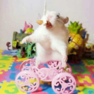 #宠物##仓鼠#哈哈哈哈,逗你玩儿。