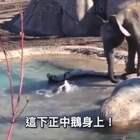 【鹅VS大象】配上这激动的旁白解说,战况简直蜜汁激烈!😂#搞笑##动物#