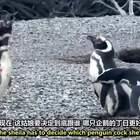 【澳洲硬汉解说:企鹅小三逼宫记】哈哈哈,#搞笑##动物#