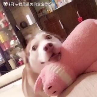 #宠物##哈士奇#😂奶油:麻 我没有大象啊