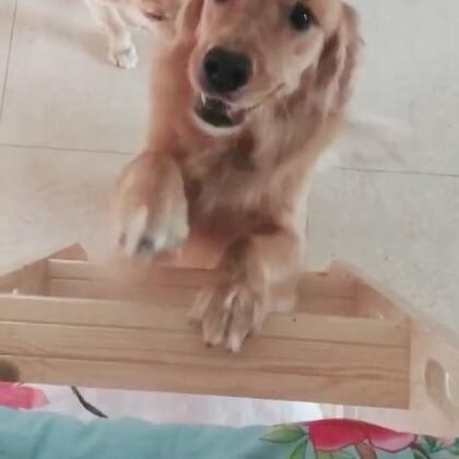 床边上的沙发挪走了,老三开始研究这个梯子了,祝她早日成功!话说开柜子开抽屉的技能真是越来越熟练了😂😂😝😝#宠物#@宠物频道官方账号 @美拍小助手