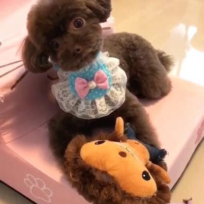 #宠物#心情美美哒逗宝抱着小玩具等着麻麻一起出去玩啦👻👻#我的宠物小精灵#
