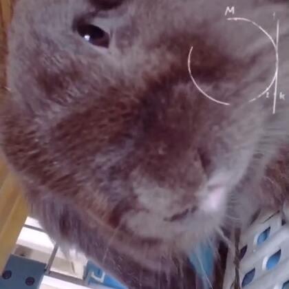 #我的宠物萌萌哒##宠物##宠物兔子#🌚🌚吃吃吃~胖兔😛😛😛🙈
