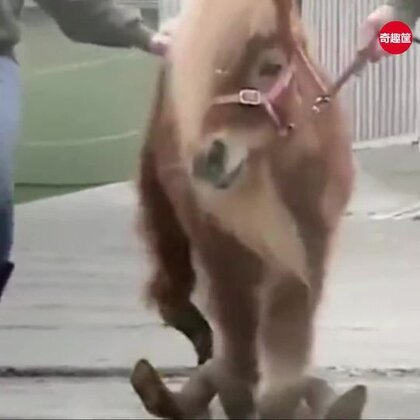 小矮马被主人遗弃后十年都没有修过马蹄,没想到却长成这样,幸好遇到了好心人!