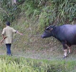 农村爷爷给牛洗澡,一边洗为什么还一边打牛,问过牛的感受吗