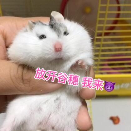 只是一只有刘海的 洗剪吹吱 哈哈哈#仓鼠##萌宠小仓鼠##仓鼠的日常#