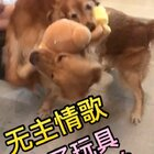 @宠物频道官方账号 @美拍小助手#金毛##搞笑宠物##无主情歌#乐宝,那一跤摔得疼吗😂😂