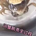 #生活##正宗盘锦河蟹#给大家看家河蟹是怎样脱壳的~