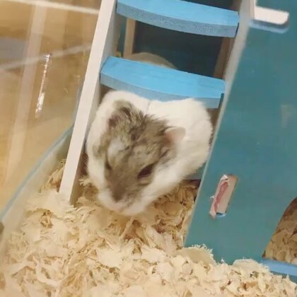 哈哈~新给我的小仓鼠买了一个大房子~它太兴奋了~在里面合作寻觅~