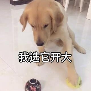 这小孩也不傻,看到我放黄色碗里了😘#宠物##汪星人#