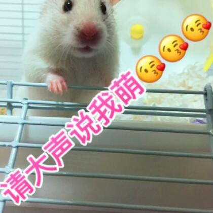 #仓鼠##萌宠小仓鼠##仓鼠的日常#大耳朵墩墩的吃货秀。😎😎😎 喜欢请点赞。