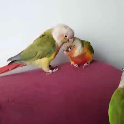 动物之间的感情,远比我们人类要友爱。哥哥和妹妹的宝宝(老二)送给了闺蜜养。近期我和闺蜜要外出,就把老二送回了我家里和其它几只鸟作伴。本以为见面之后小哥哥妹妹会欺负老二。没想到画面如此温馨,它们还记得它的宝宝,一见面就给各种的梳理羽毛。看到这视频我都感动的想哭#宠物##我的宠物萌萌哒#