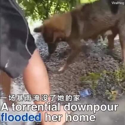 一场暴雨淹没了狗狗的家,狗妈妈拼尽全力营救溺在水中的狗宝宝,她奋不顾身潜进水里,最后终于把狗宝宝成功救了出来!救援人员给小奶狗做了心肺复苏,挽救了小奶狗的生命。这场营救真的好暖好泪目