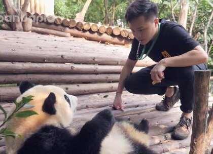 #大话熊猫#看卷毛奶爸使你嫉妒使你丑陋嘤嘤嘤