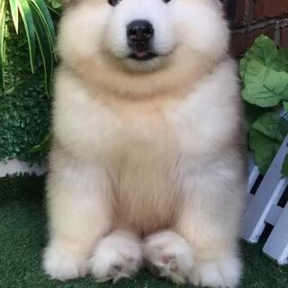 #阿拉斯加##阿拉斯加雪橇犬##萌宠#😍😍😍😍😍😍😍😍😍😍😍