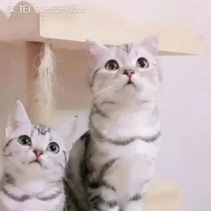 我们都爱逗猫棒#宠物##猫咪#