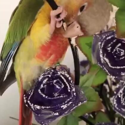 家里发来的报道!小恐龙啃花枝,我大姐就要看它把花枝啃断之后怎么掉下来的!可这机智的小鸟子在花枝断之前爬到另一根花枝上躲开了。😂😂😂#宠物##我的宠物萌萌哒##小太阳鹦鹉小哥哥和妹妹#