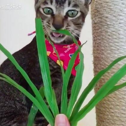 你们吃月饼我们吃草😄大家中秋快乐🎑青草对猫咪的身体有益,它含有某些维生素和丰富的纤维素 ,可以做为有效的呕吐剂,因为青草叶面上的绒毛能够黏附在消化道的纤毛,达到催吐作用,帮助猫咪把毛球之类不需要的东西吐出来 #宠物##日志##俩喵欢乐多#