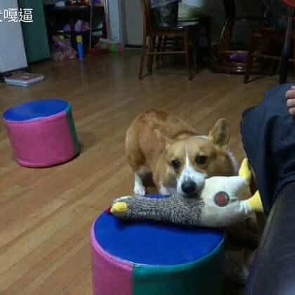 到外婆家玩玩具要放到指定位置,我都特別聽話。 #柯基犬嘎逼##萌宠##寵物#