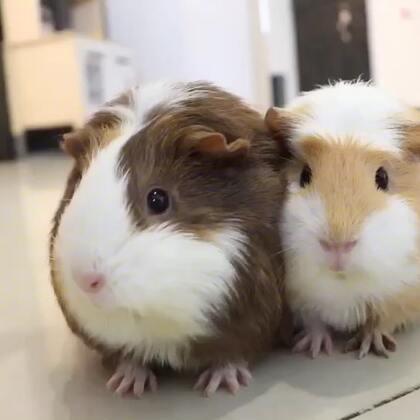 应要求发一段豚鼠的视频,好久没拍它俩了,又肥了一圈😂😂 #宠物#