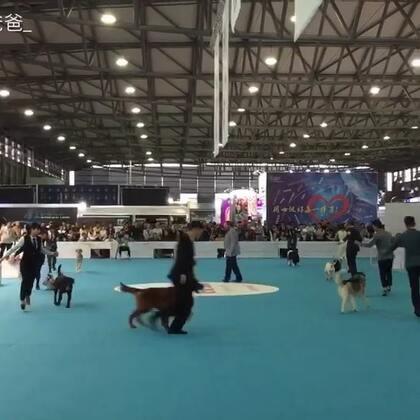 带大家看一场今天刚结束的亚洲杯,这场是全场总冠军的争夺!能在这种大赛上拿到总冠军的名次也是很有含金量的…#宠物##犬展bis#