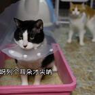 #重庆话萌宠配音#之【哗啦哗啦埋猫砂】。身为一只猫,连猫砂都不会埋还莫名自信,到底是有多蠢啊喂!