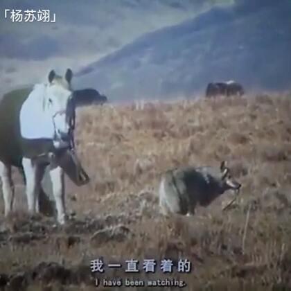 四川女画家偷养一只狼崽取名格林,四年时间结下不解之缘。女画家脚扭后,格林竟然去牵来一匹马过来。整个过程被其丈夫拍摄。#我要上热门#