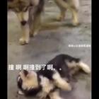 史上最萌碰瓷,你撞我了,哎哟!疼!赔钱…!#宠物##搞笑#