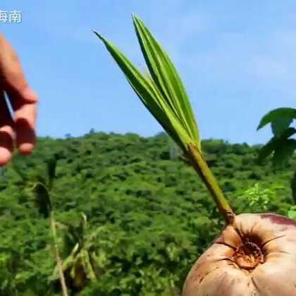 #美食#椰丝卷-最不会做和有关面的,满手都是😂😂#乡间美食#想好了,今年把和椰子有关的都做了,如果明年还拍,就一年都拍粉吧,什么炒粉,腌粉各种粉😂😂😂😂😂😂#吃秀#抽三小伙伴送老椰子