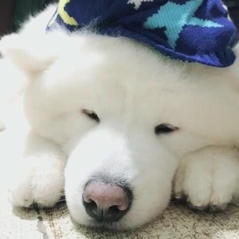【金可愛啊🧀️美拍】#牛奶颂#洗白白了要睡觉了#宠物#