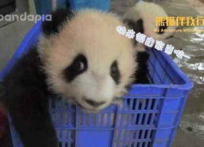 奶妈分团子了!羡慕的快去关注我们的新⚡浪⚡微⚡博 @pandapia,查看我们的置顶微博详情介绍~ #熊猫伴我行#全球大熊猫奶爸奶妈体验活动正在招募中……