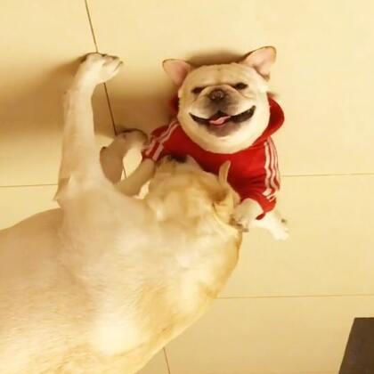 饭后按摩,来福很享受😂😂😂#宠物##运动##我要上热门@美拍小助手#@宠物频道官方账号