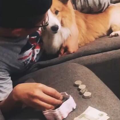#宠物##柯基#笑死了,他动屁屁钱盒里的钱了,孩子气的要说话,可以说是相当不高兴了