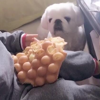 看土豆吃东西只有饭桶才会被馋到🙈#京巴##宠物#