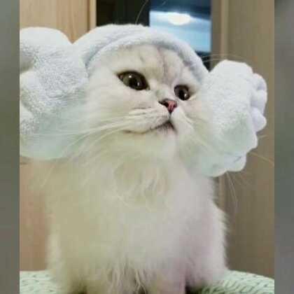 #宠物##金吉拉##高地折耳##加菲猫异国长毛猫##布偶手套色##弯弯诺诺coco念念#诺诺最喜欢