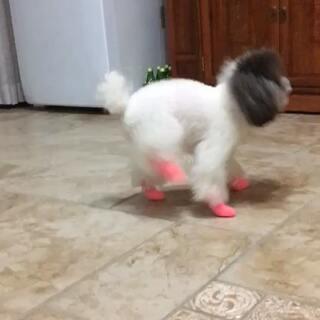 玛格丽特第一次穿鞋,整个狗都不好了😺😺😺