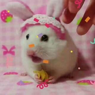 #宠物##仓鼠#哈哈哈,二哥又变身兔子了。