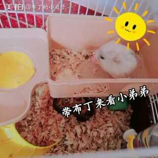 #宠物##仓鼠#这是朋友家的小银狐,应该是才出生,只有一根大拇指那么大💫炒鸡可爱,相比之下布丁好胖啊