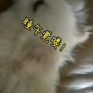 #宠物##宠物狗狗#午觉打卡, 每天差不多这个时间都会睡@美拍小助手 @小冰 😍😘😍😘😊