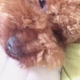 #宠物#胖西睡觉💤