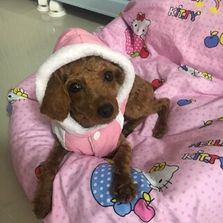 #宠物# 今天Lucky 穿的是pizza 小时候的衣服~~~