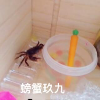 #螃蟹##K德##宠物#今天给大家介绍一下我的宠物螃蟹玖九。我的右手忍着痛给大家拍呀!@美拍小助手