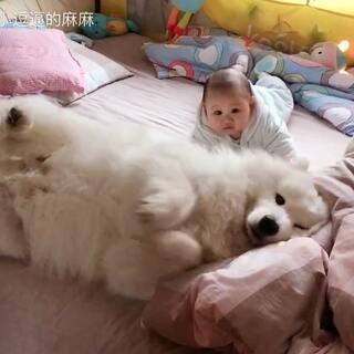 #宝宝##宠物##萨摩耶#沫公举是一个合格的好哥哥!妈妈吃饭叫他挡住弟弟不让弟弟滚下床,他也乖乖趴在床上等着!就算弟弟把他揪疼了,他也没有直接跑掉,或者是生气攻击弟弟!你这么懂事,妈妈怎么爱你都不够吖!😘